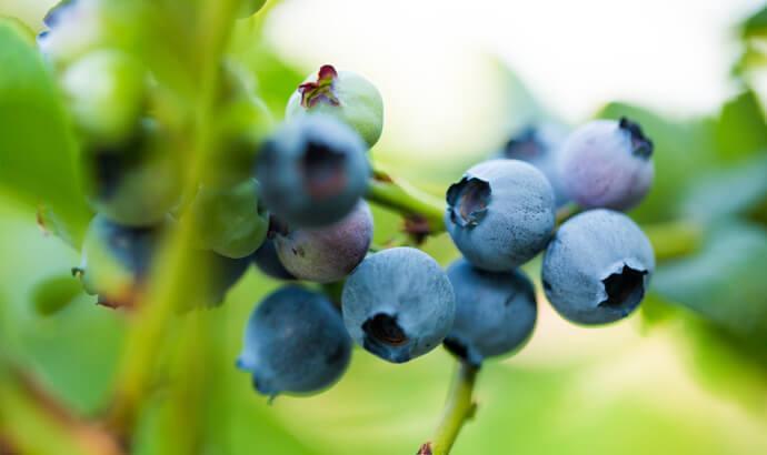 Antocyaniner, antioxidantrika grönsaker, frukter och bär