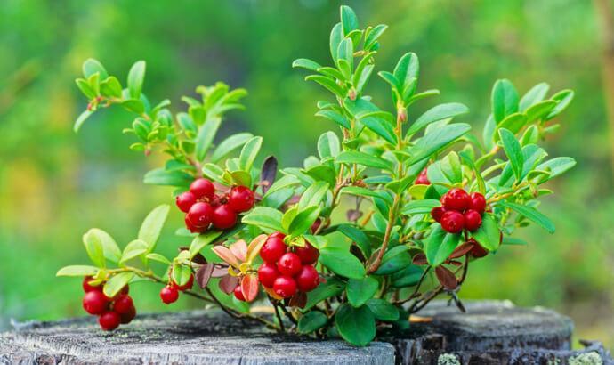 lingon antioxidanter